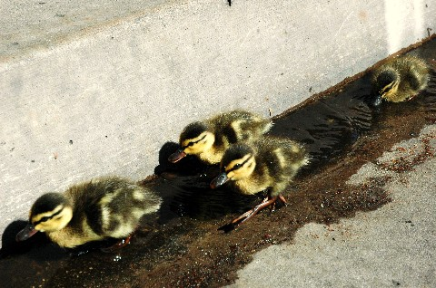 babyducks.jpg