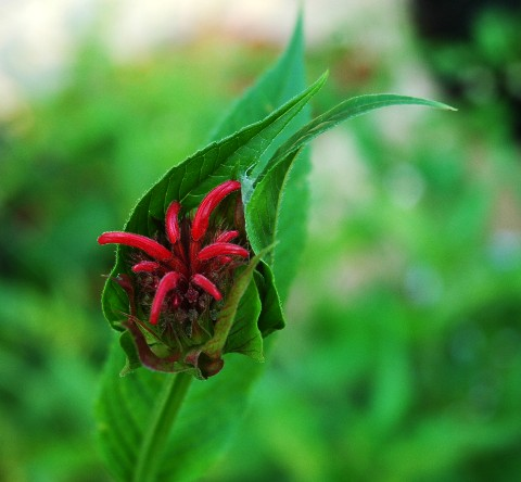 beebalm.jpg
