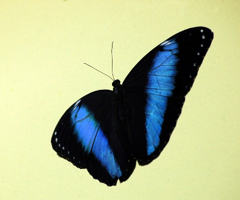 bluebutterflyyellowbackweb.jpg
