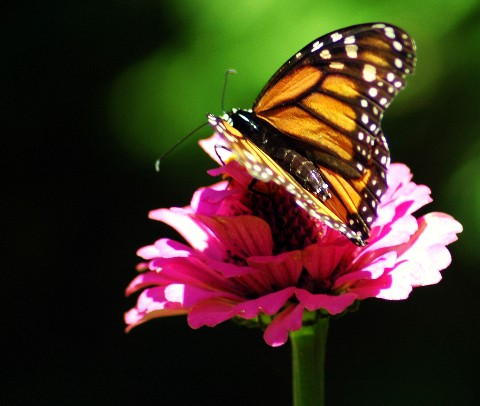 butterflypinkflower.jpg