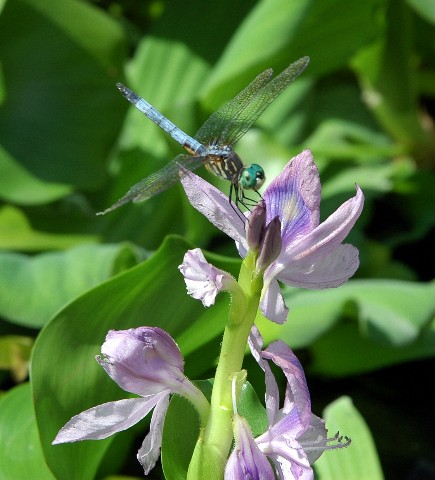 dragonflyonorchid.jpg