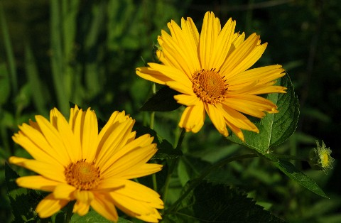 twoyellowflowers.jpg