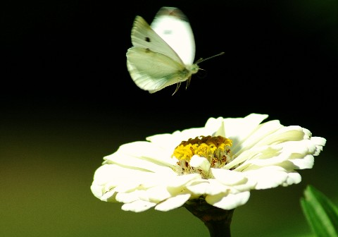 whitebutterflyandwhiteflower.jpg