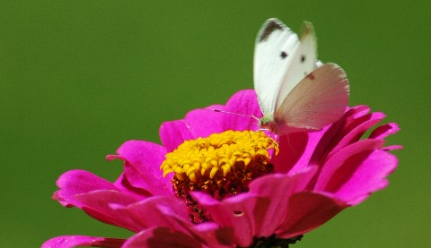 whitebutterflypinkflowercloseup.jpg