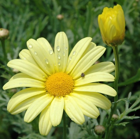 yellowdaisy.jpg